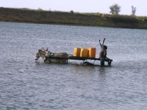 Les ânes dans l'eau du fleuve Niger à Dioro (Ségou)