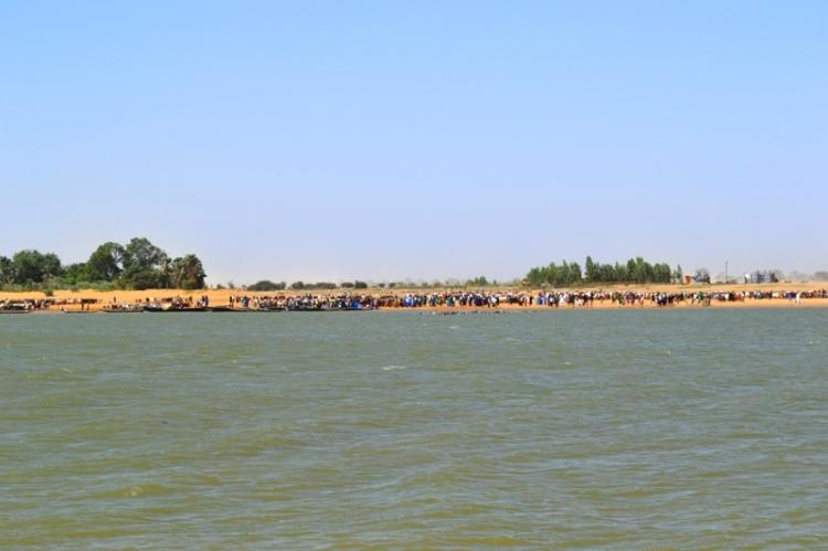 Le signal donné, les peules se jettent dans l'eau avec  les bœufs