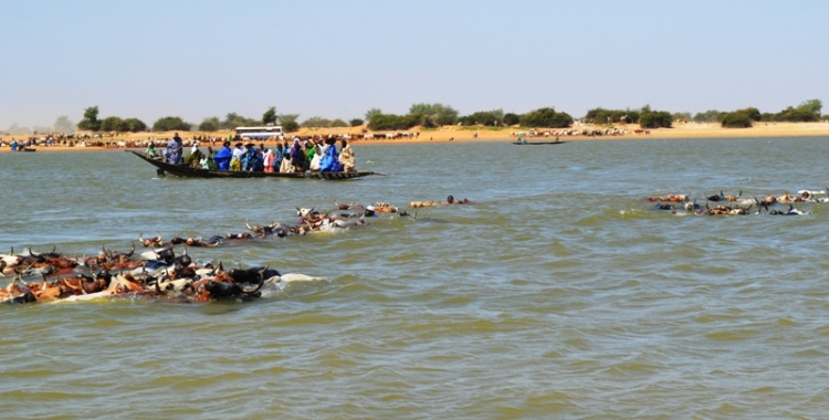 D'une rive à l'autre, les jeunes peuls accompagnent les bœufs dans l'eau