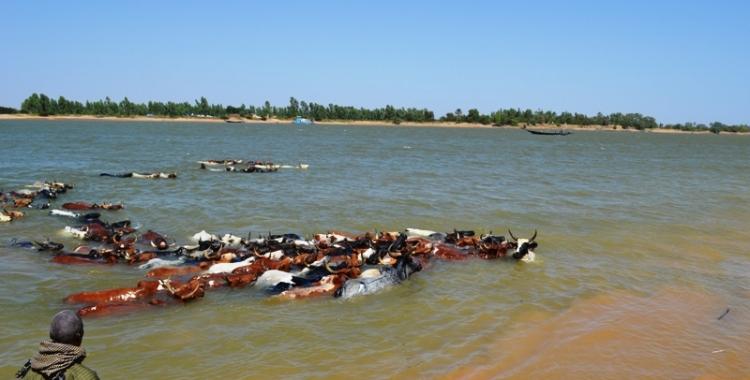 Les boeufs au milieu de l'eau du fleuve