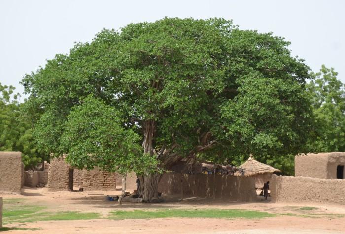 Arbre à palabre à Fayira, un village de la Région de Ségou